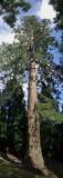 Redwood in Devon