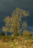 Storm clouds bearing down on sunlit tree