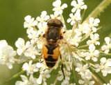 Syrphid Fly #4222