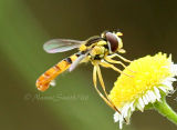 Syrphid Fly #6954