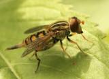 Parhelophilus JN8 #866