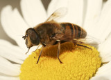 Syrphid Fly JN8 #8771