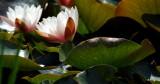 Backlit waterlilies