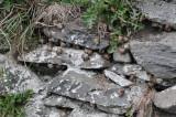 Snail colony Dingle Peninsula.jpg