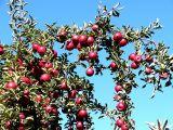 Apple Crop ~ October 9th