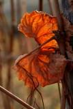dead vine leaf