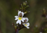Euphrasia micrantha. Close-up.