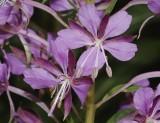 Willowherb family (Onagraceae)