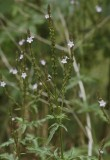 Verbena officinalis.