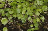 Ivy family (Araliaceae)