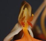 Habenaria rhodocheila. Close-up.