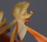 Habenaria rhodocheila, Side close-up.