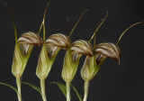 Pterostylis truncata. 4 flowers.