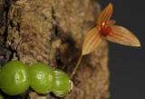 Bulbophyllum moniliforme. Close-up.
