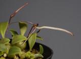 Bulbophyllum alticolum.