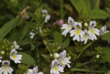 Euphrasia stricta. From coastal dunes