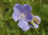 Geranium family (Geraniaceae)