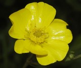 Buttercup family (Ranunculaceae)