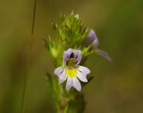 Euphrasia stricta. Close-up.