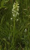 Platanthera bifolia.