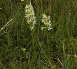 Platanthera bifolia two plants.
