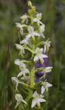 Platanthera bifolia. Closer.