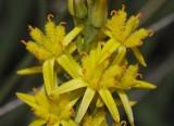 Bog asphodel family (Nartheciaceae)