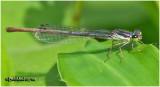 Fragile Forktail-Female