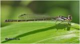 Fragile Forktail-Immature Female