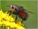 Tachinid Fly-Femlale