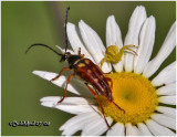 Banded Longhorn Beetle and Crab Spider