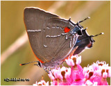 WhiteM Hairstreak
