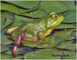 Bull Frog-Female