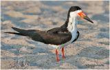 Black Skimmer-Adult