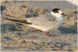 Common Tern-1st Year