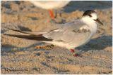 Common Tern-Adult Non Breeding