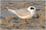 Forsters Tern-Adult Non Breeding