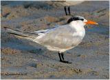 Royal Tern-Adult Non Breeding
