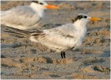 Royal Tern-Juvenal