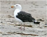 Great Black Backed Gull Adult