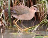 Purple Gallinule-Immature