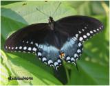Spicebush Swallowtail-FemalePterourus troilus