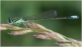 Eastern Forktail-Male