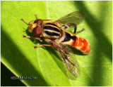 Syrphid Fly-Female