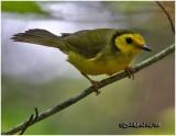 Hooded Warbler-Female