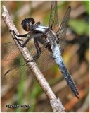 Chalk Fronted Corporal-Male
