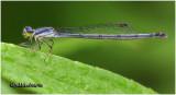 Eastern Forktail-Female