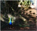 Peacock_IMG_1238.jpg