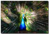 Peacock_IMG_1239a.jpg