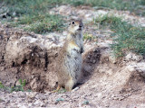 Turkisk jordekorre - Asia Minor ground squirrel (Spermophilus xanthoprymnus)